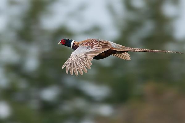 Groundbirds