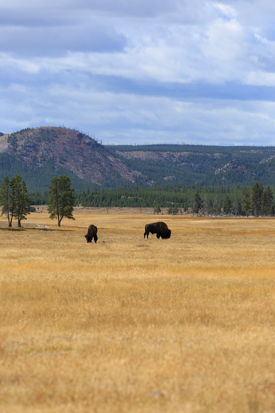 Buffalo along New Perce Creek 002