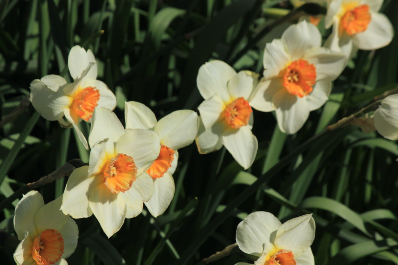 Narcissus - Daffodils