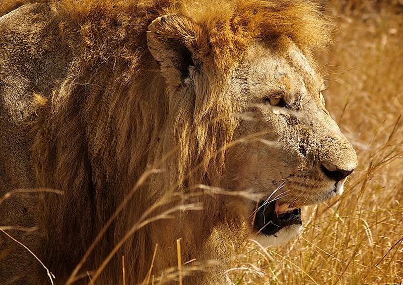 Alltid klar for mer. Masai Mara, oktober 2006. *** Are you ready for love. Masai Mara, October 2006 (Foto: Geir)