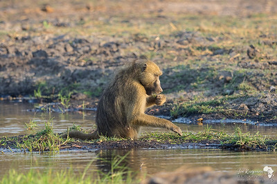 Sundowner with a baboon