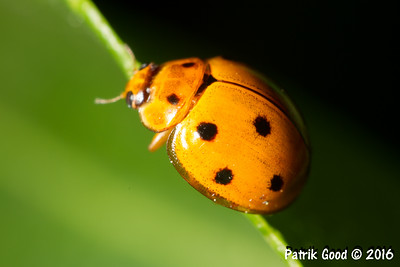 Eight-spotted Ladybird