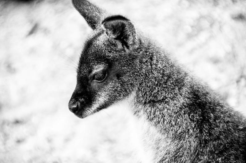A Wallaby.jpg
