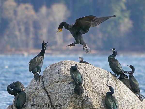 Mixed Cormorants