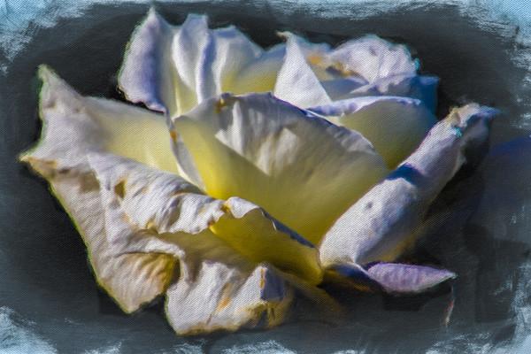 April 8 - White rose.jpg