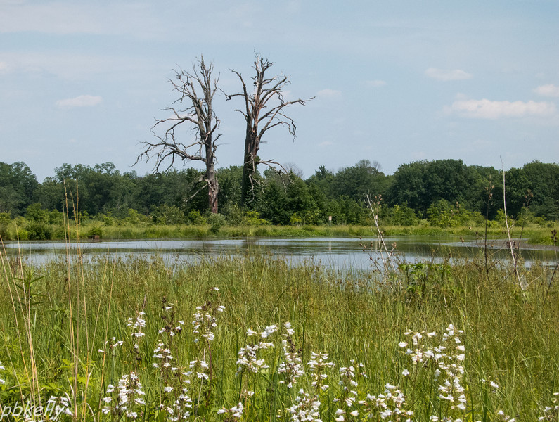 June 13.  These dead trees at the Crook Street Wetlands are prime bird perches.  Foxglove Beardtongue in the foreground.