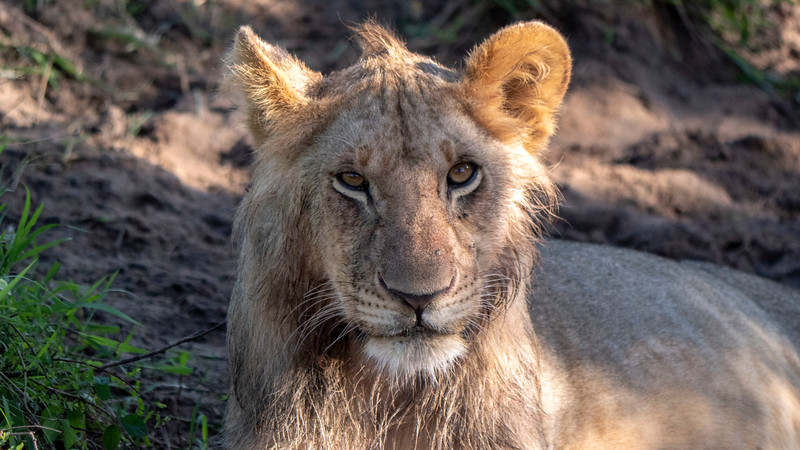 Tanzania-Serengeti-National-Park-Safari-Lion-06.jpg