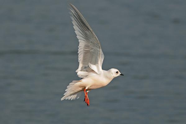 UK Rare/Scarce Birds 2007-2009