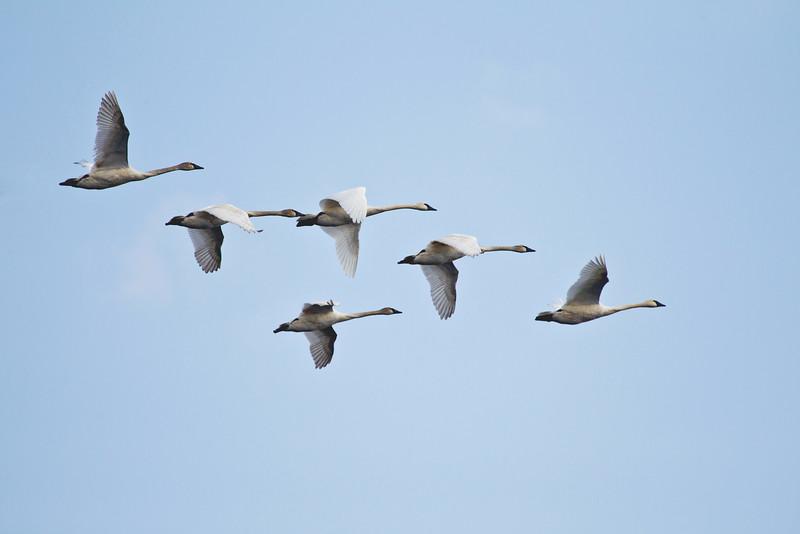 anothher swan.jpg