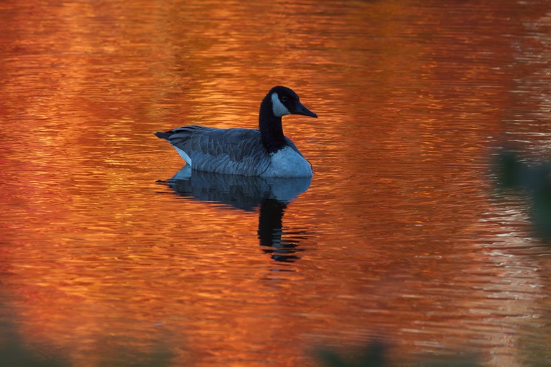 Canada Goose fall color reflection Rock Pond UMD Duluth MN IMG_0067224.jpg