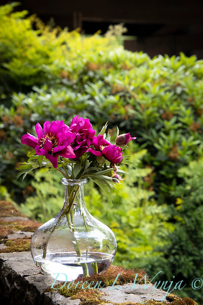 6858 Peaonia x 'Morning Lilac' cut flowers in a vase__1105.jpg