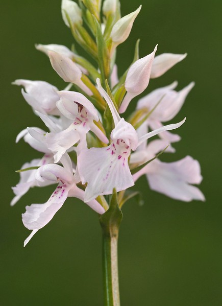 D. maculata s.l. Tärnaby 15-07-17 (1).jpg