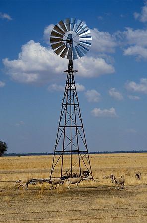 Sheep seeking Shade in NSW, Australia