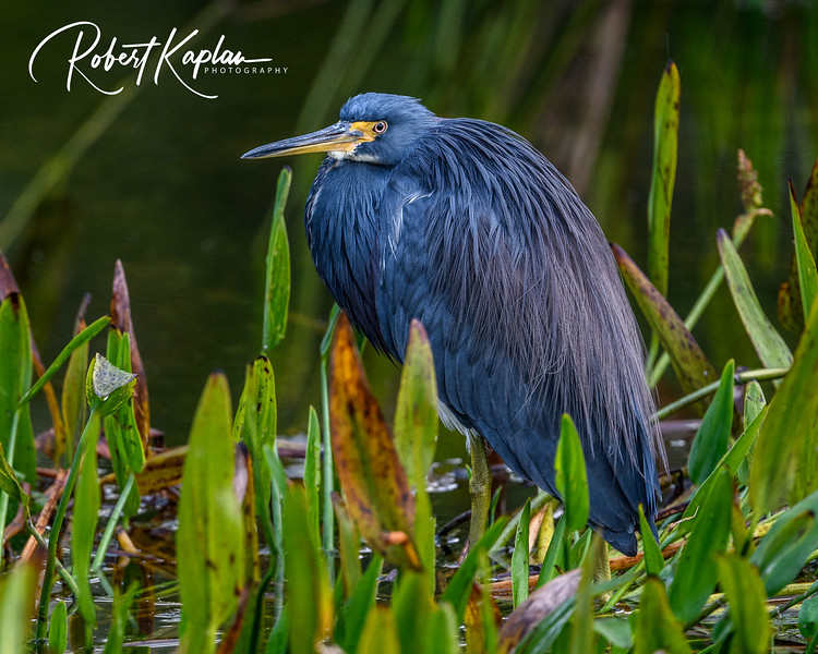 Tri colored Heron Portrait-9649.jpg
