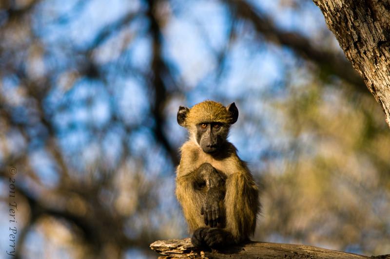 baboon (2).jpg