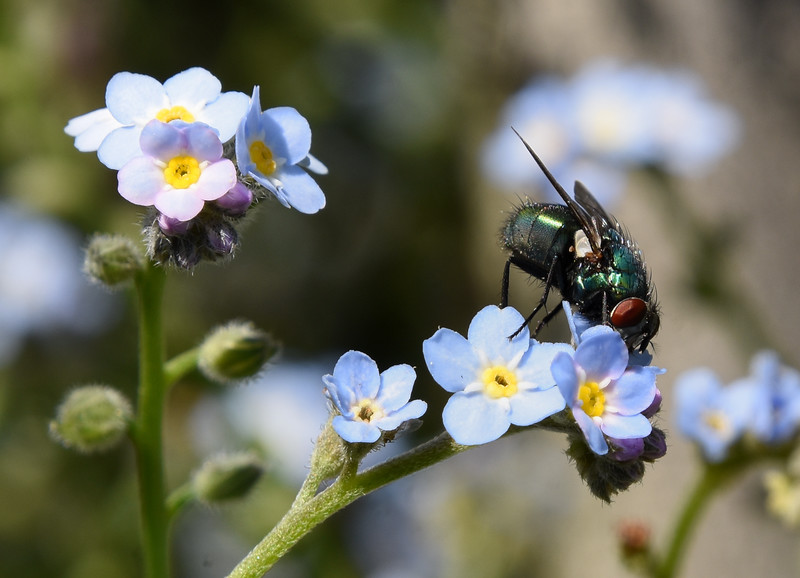 Fly-forget-me-not5-rjduff.jpg