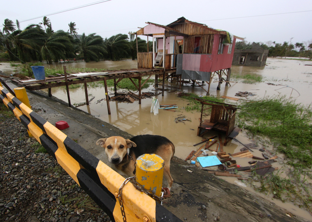 Description of . A dog is chained near a damaged house after Typhoon Bopha made a landfall in Compostela Valley in southeastern Philippines Tuesday Dec. 4, 2012. A Philippine governor says at least 33 villagers and soldiers have drowned when torrents of water dumped by the powerful typhoon rushed down a mountain, engulfing the victims and bringing the death toll from the storm to about 40. (AP Photo/Karlos Manlupig)