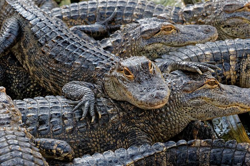 Gatorland24906_ID.jpg