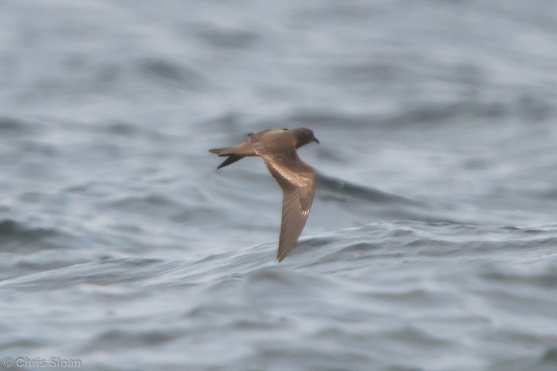 Black Storm-Petrel at pelagic out of Bodega Bay, CA (10-15-2011) - 373.jpg