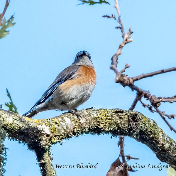 _DSC1057Western Bluebird.jpg