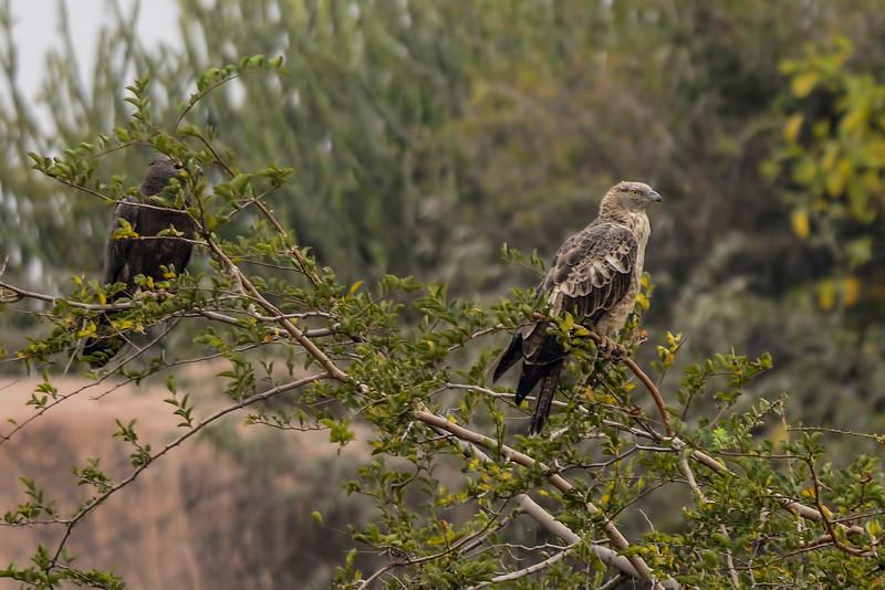 Short-toed-snake-eagle-hampi.jpg