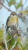 red crossbill female, winter, LI,NY