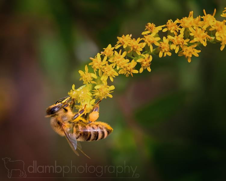 Honey Bee Hanging onto Goldenrod