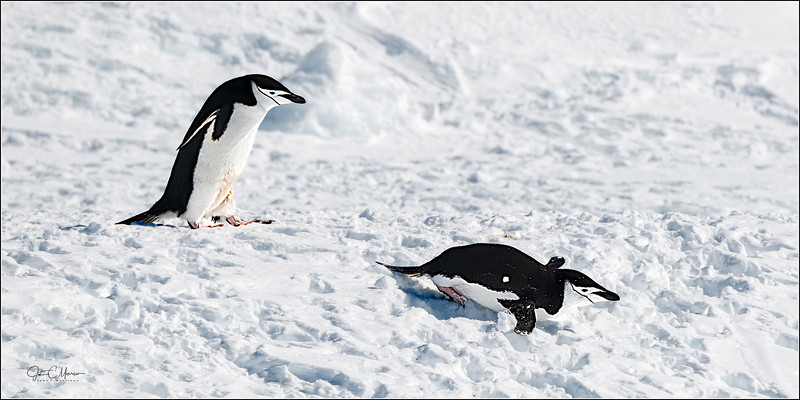 J85_6240 2 Chinstrap Penguins 1x2 LPTr1W.jpg