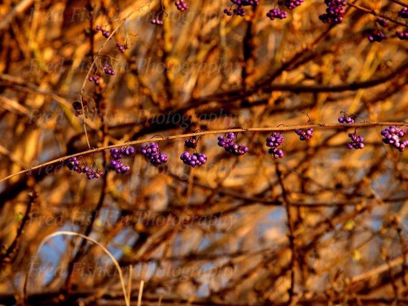 sayen berries.jpg