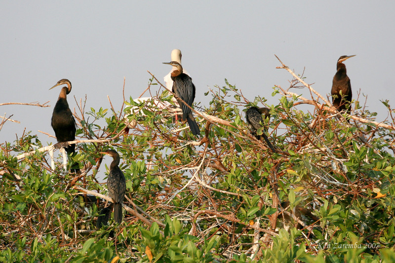 African Darters or Snake Bird (aka: Anhinga), Moremi Game Reserve, Okavango Delta, Botswana