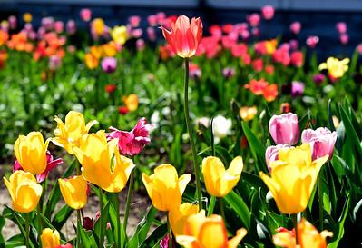 Photos: Tulip Time in Longmont