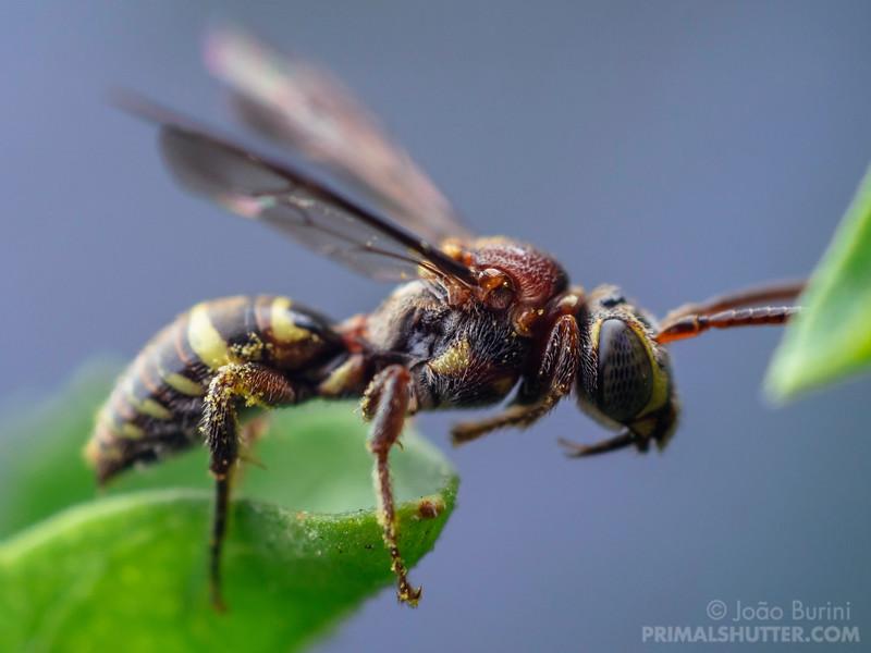 Kleptoparasitic bee