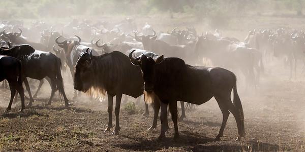 Tanzania 2017 Wildebeest