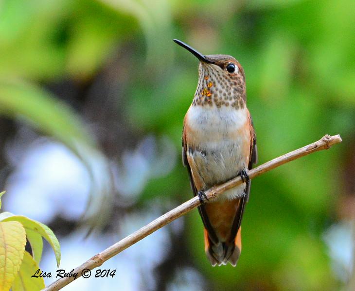 Female/Immature Selasphorus Hummingbird - 8/2/2014 - Backyard, Sabre Springs