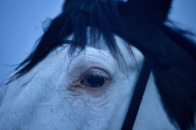 . A detail view of a horse two days prior to the 139th Preakness Stakes at Pimlico Race Course on May 15, 2014 in Baltimore, Maryland. (Photo by Patrick Smith/Getty Images)