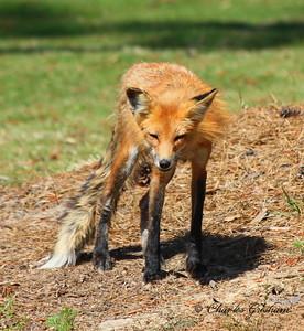 Red Fox near Star Lake