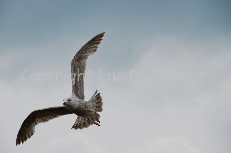 There are thousands of sea-gulls in Ostend! This one is shot with the Nikkor 18-200mm lens. No post processing.