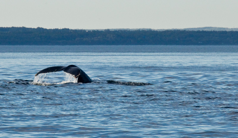 2011 quebec whale watching (59 of 80).jpg