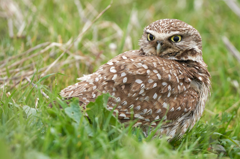 Burrowing Owl in Point Reyes