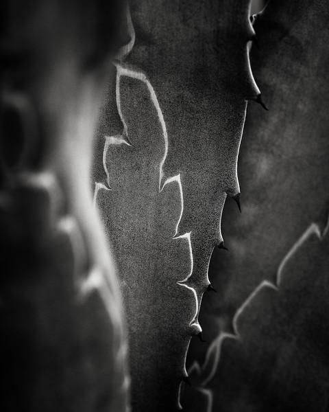 agave closeup