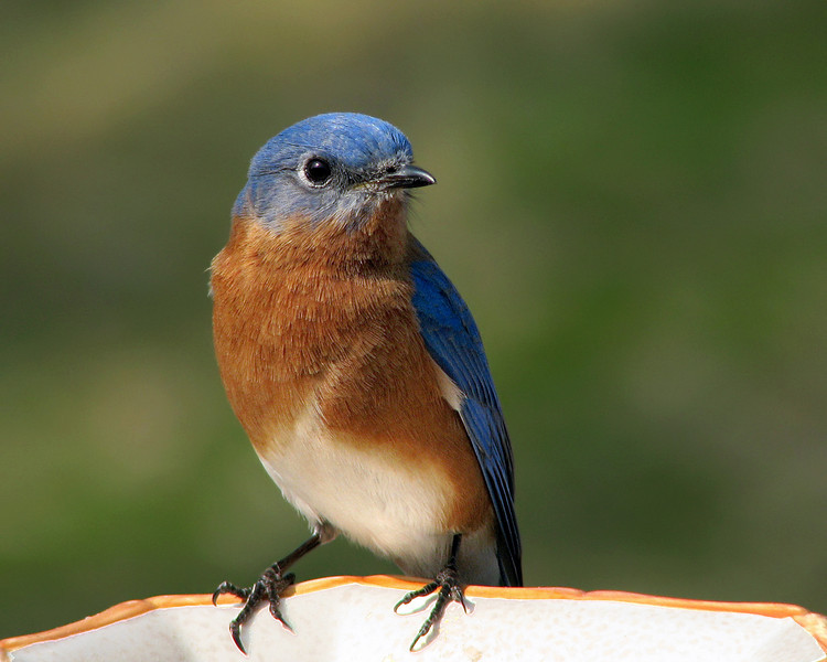 bluebird_7281.jpg