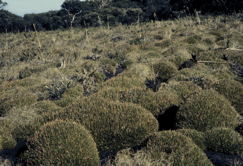 Oreobolus furcatus in Greensword Bog; photo developed July 1973; photo by Wayne or Betsy H. Gagné (photoID: bhg002055)
