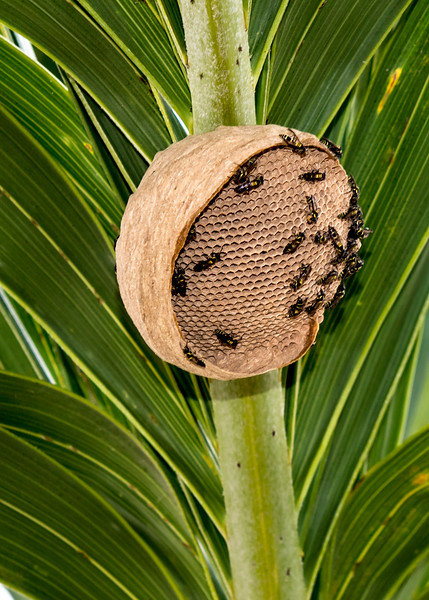 Wasp nest being made
