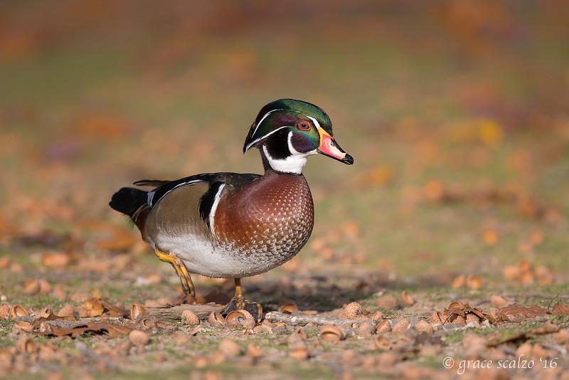 Wood duck1_S242055-Edit.jpg