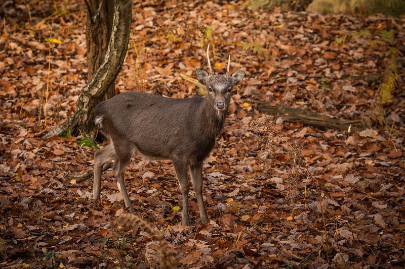 2019 - Deer at Knole Park November 006