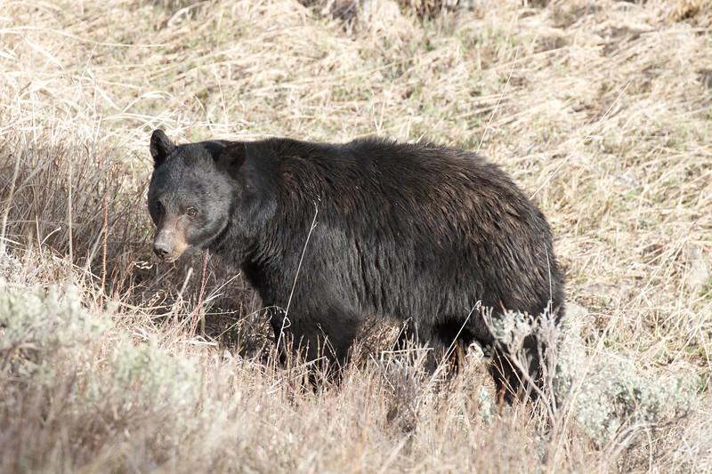 Black Bear Yellowstone National Park WY IMG_4828.jpg