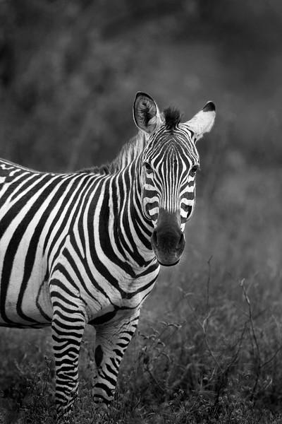 Zebra _MG_7603b.jpg