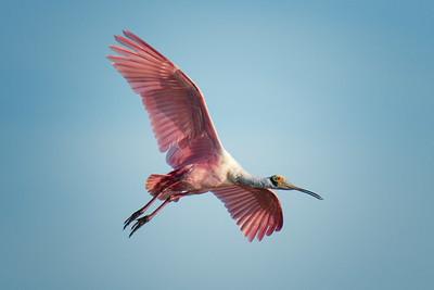 Spoonbill flying