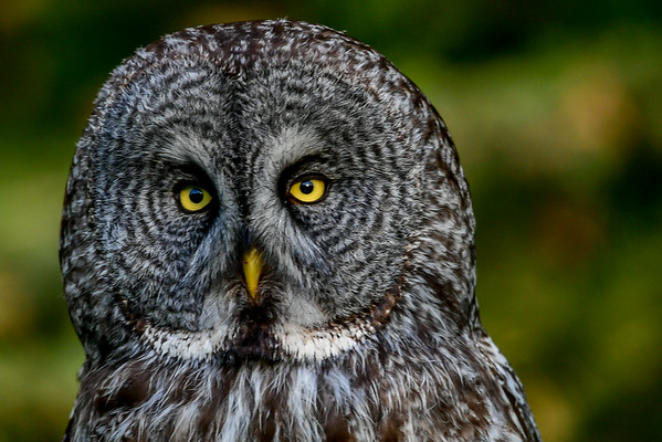 6-20-16 *^Great Gray Owl