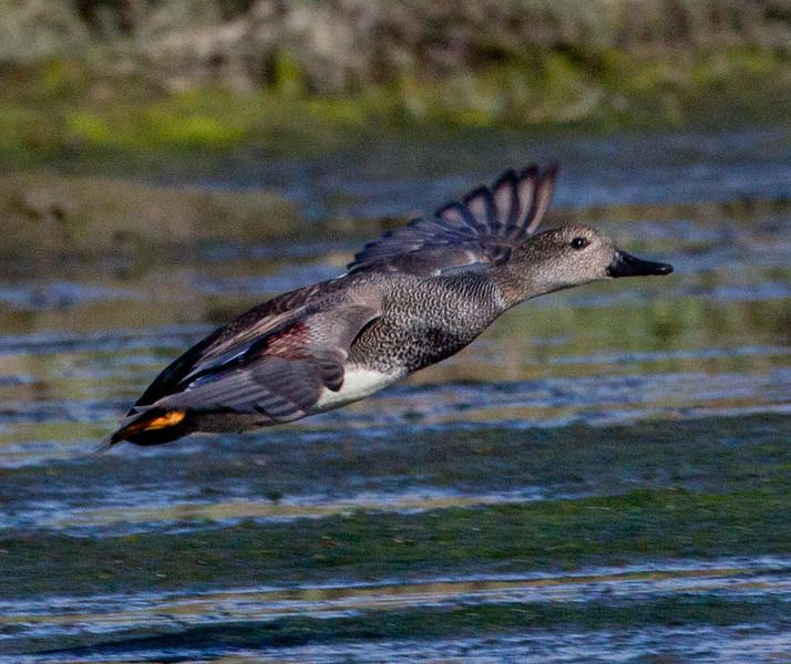 Gadwall  San Elijo Lagoon 2011 11 03 (1 of 2).CR2